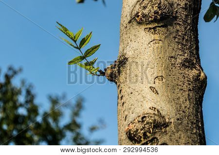 Tree Trunk With Freshly Grown Leaves Against The Blue Sky
