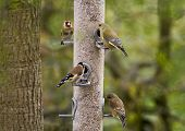 Four gold-finches feeding from a container of sunflower seeds poster