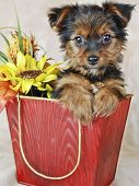 Cute Yorkie puppy in a bucket with fall flowers. poster