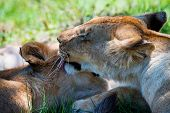 Lioness demonstrates tendeness by licking a lion poster