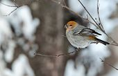 A female Pine Grosbeak (Pinicola enucleator) perched in snow-covered tree. The Pine Grosbeak (Pinicola enucleator) is a large member of the true finch family Fringillidae. poster
