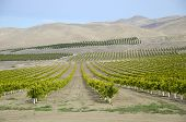 A newly planted almond orchard in California's Southern San Joaquin Valley poster