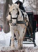 White horse pulling black sleigh in winter poster