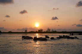 Buffalo In Water During Sunrise At Thalenoi Wildlife Sanctuary, Thatthalung, Thailand.