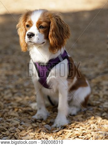 5-Months-Old Cavalier King Charles Spaniel Puppy Sitting and Looking A way