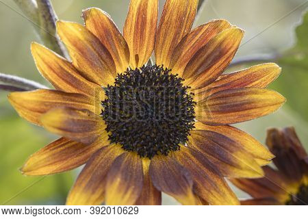 Close Up View Of A Little Becka Sunflower At The Finch Arboretum In Spokane, Washington Usa.