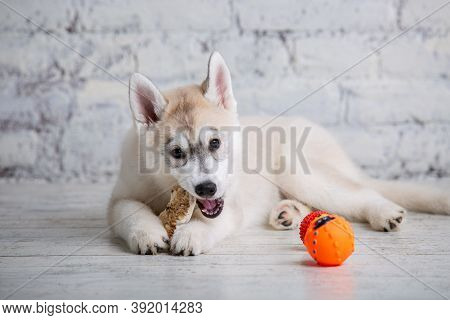 Smiling Happy Pet Dog Light Colored Husky Puppy Gnawing With Pleasure Bone Of Food. Dogs Delicacy. D