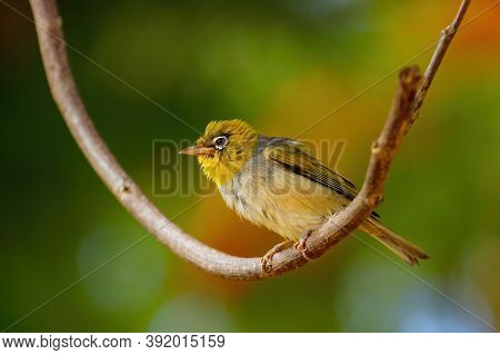 Fiji White-eye (zosterops Explorator) Sitting On A Tree Branch. It Is Endemic To The Islands Of Fiji