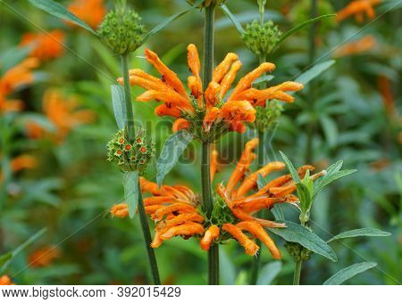 Beautiful Orange Flowers Of Lion's Tail, An Upright Perennial