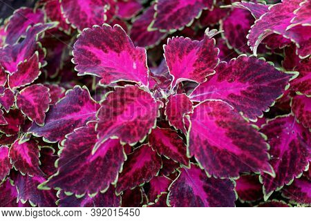 Beautiful Red Leaves Of Coleus 'ruby Punch' Plant