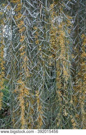 Weeping Myall Tree With Pale Yellow Flowers