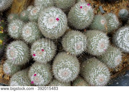 Top View Of Cactus Plants With Tiny Purple Flowers