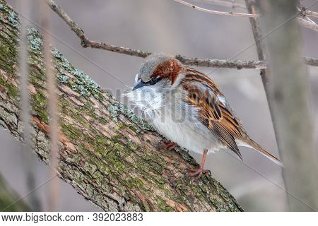 The House Sparrow, Passer Domesticus, Sitting On A Branch Without Leaves With Feathers In Its Beak.