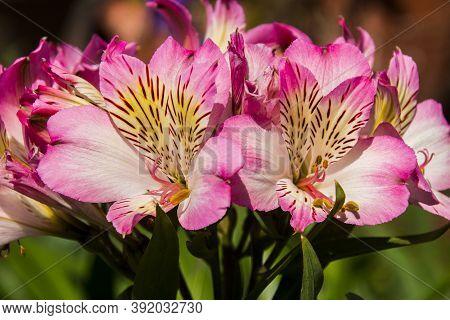 Close Up Of Pink Alstromerias Growing In The Garden