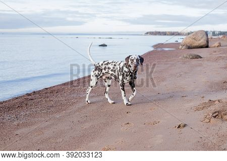 Brown Dalmatian Puppy On The Beach.happy Dalmatian Dog Playing On The Beach.the Dalmatian Is A Breed