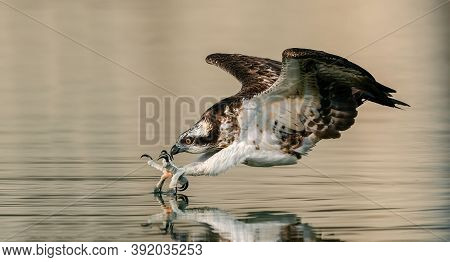 Eagle Flying With A Fish In Its Talons, Eagle Fishing, Close Up Of Bird Hunting Near The Water.