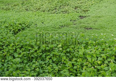 Different Plants Siderates Growing In The Field. Siderates Or Green Fertilisers Are Plants That Are
