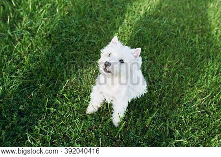 Lovely West Highland White Terrier Walk In The Yard On The Green Grass In Sunny Autumn Weather. Pets