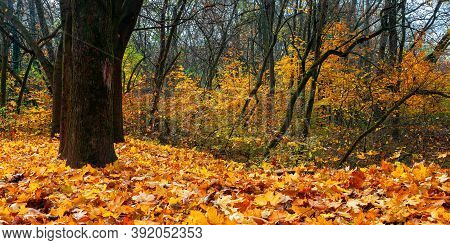 Sunny Autumn Scenery With Trees. Branches In Colorful Foliage. Ground Covered With Fallen Leaves. Se