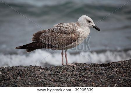 Big White Seagull