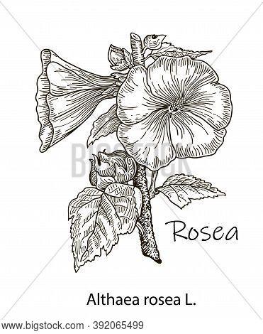 Hand Drawn Flower Illustration - Blooming Hollyhocks. Botanical Illustration Of Flowering Alcea Rose