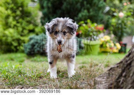 Small Shetland Sheepdog Sheltie Puppy Standing In The Garden With Rotten Apple. Photo Taken In A War