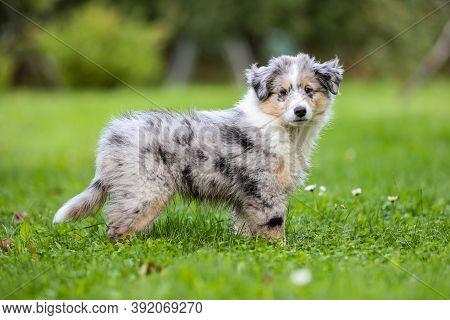 Small Beautiful Shetland Sheepdog Sheltie Puppy In Countryside Garden. Photo Taken In Europe, Latvia
