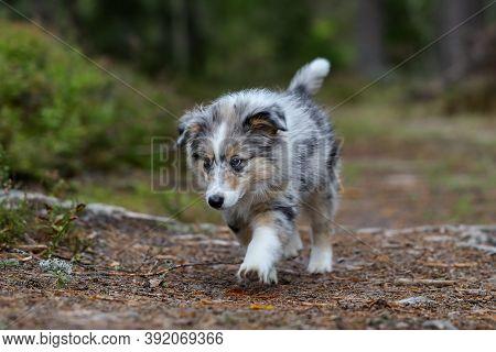 Small Beautiful Shetland Sheepdog Puppy Walking Through Forest. Photo Taken On A Warm Summer Day.