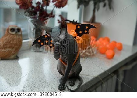 Scary Black Young Don Sphynx Cat With Black Bat Wings On Its Back As Halloween Decoration, Sitting L