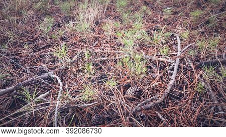 Young Black Pine Saplings And Pine Cones On The Soil. Saplings Of Coniferous Tree Grown Naturally Fr