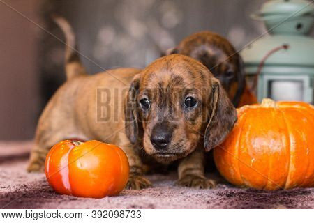 Brindle Tan Brown Red Dachshund Puppy Sneaking Through Orange Pumpkin Harvest On A Table Indoors