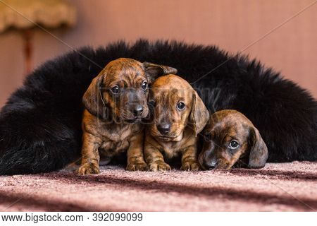 Three Tan Red Brown Brindle Dachshund Puppies Are Feeling Tender And Cozy Covered In Black Fluffy Co
