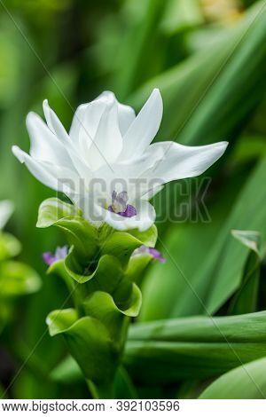 Curcuma Zanthorrhiza (siam Tulip Curcuma Alismatifolia) White Flower In The Nature And In The Garden