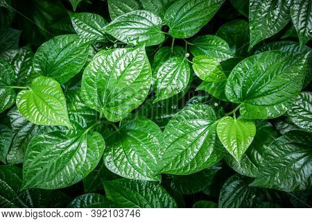 Green Leaf Background (betel Leaf Heart Shape) Beautiful In The Garden And It Is An Herb And Has Hea