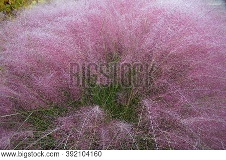 Pink Muhly Grass, A Beautiful Ground Plant With Beautiful Plume