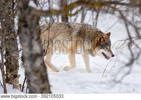 Eurasian Wolf Strolling Through Bare Trees On Snow