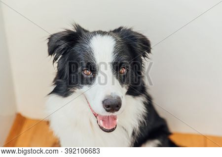 Funny Portrait Of Cute Smiling Puppy Dog Border Collie Indoor. New Lovely Member Of Family Little Do