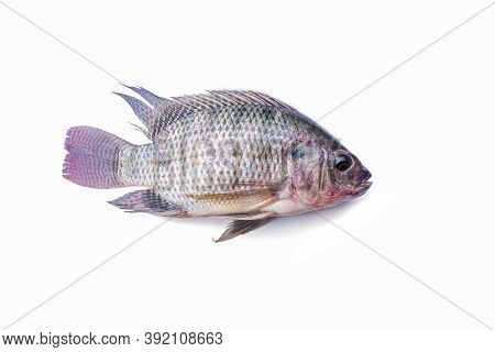 Fresh Tilapia Fish Isolated On The White Background