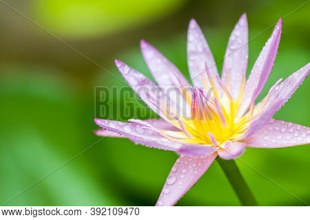 Beautiful Pink Water Lilies, Pink Water Lilies With Leaves Blurred Background Reflection In A Pond