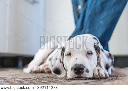 Sleeping Dog . Pet At Home.cute Portrait Of Dalmatian Puppy Sleeping At The Feet Of The Owner. Small
