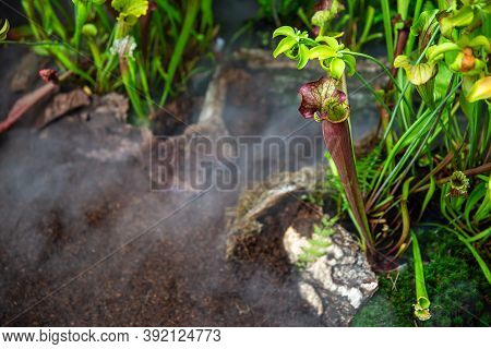 Very Rare Carnivorous Plants In The Rainy Jungle With Morning Ground Fog Or Mist, Plant Science