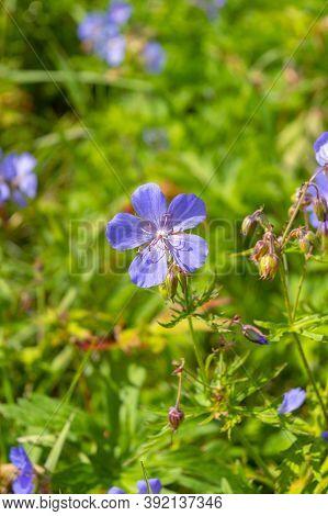 Geranium Pratense (meadow Cranesbill) In Bloom.beautiful Flower Of Meadow Geranium - Geranium Praten