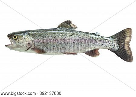 Fresh Caught Rainbow Trout Isolated On A White Background
