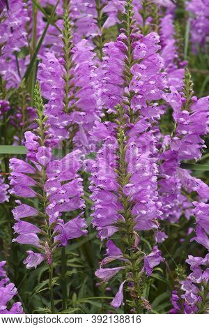 Obedient Plant (physostegia Virginiana). Called Obedience And False Dragonhead Also