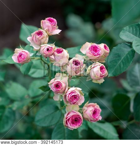 Close-up Bouquet Of Pink Blooming Rose Bush Called Mimi Eden Floribunda. A Pink Roses In Bloom. Fres