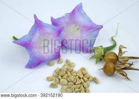 Morning Glory Seeds And Flower On White Background. The Stages Of Seed Ripening From Flowers To Seed