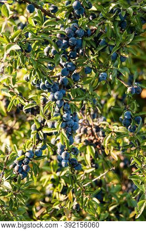 Blue Sloes, The Tart Fruits Of A Blackthorn Shrub Hanging On A Twig