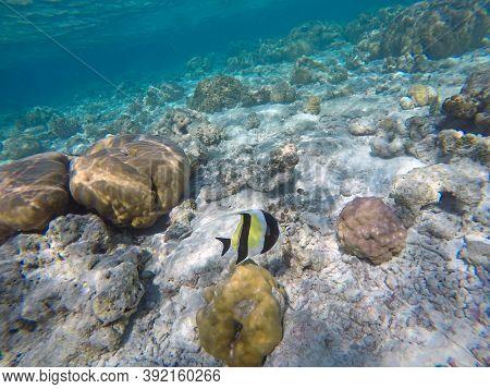 Moorish idol fish in the open water. Indian ocean, Maldive islands.