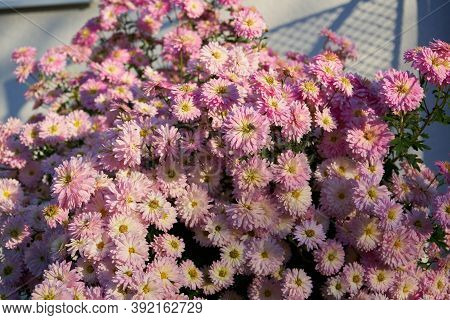 Chrysanthemum Purple, Beautiful Autumn Bouquet Of Chrysanthemums Bloomed In The Flower Garden