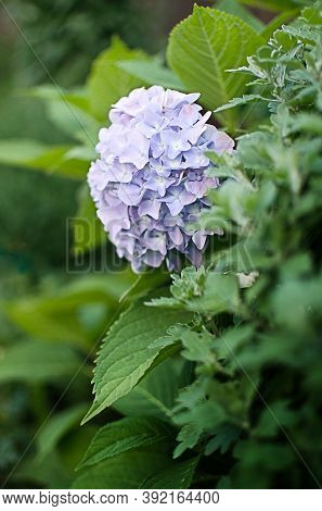 Cute And Lovely Hydrangea Flowers